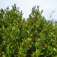 ☆今年はアカミノイヌツゲが赤い実をつけていました。