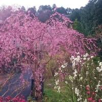 桜は勿論、鮎遡上も見たい!