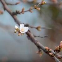 ユスラウメ開花 3.22