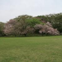 めずらしい桜を見に行こうよ!筍つきだぞ~