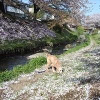 今日と明日が見納め桜