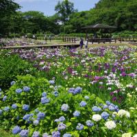 速報 池田池公園の花菖蒲園