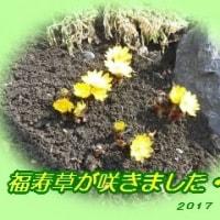 福寿草が咲きました・・