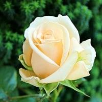 薔薇日和*