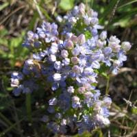襟裳岬の花は 何と云っても 「ヒダカミセバヤ」と「チシマセンブリ」