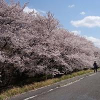 多摩川沿いの見事な桜