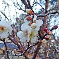 天竺川の自然・2回目・1月後半・(2017.1.16~1.31)