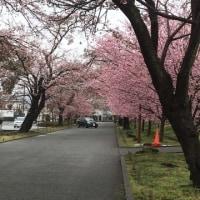 やっと桜のトンネルに  齋藤