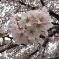 桜と今週の診療