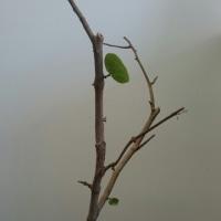 ハマベブドウ(シーグレープ) 22続き5