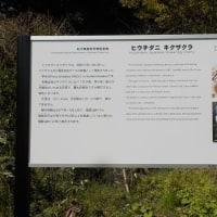 石川菊桜紀行