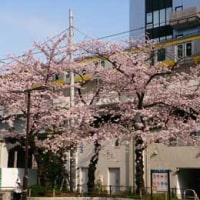 秋葉原の佐久間公園の桜が満開になりました
