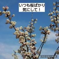 さくらんぼ開花と小松菜発芽♪