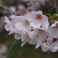 花冷えの雨