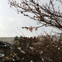 松乃本店さんで桜のお花見