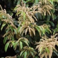 スダジイ(ブナ科・シイ属)常緑広葉樹
