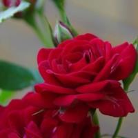 アンジェラ、二コルなど4種類のバラが綺麗です