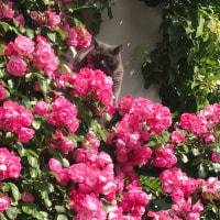 くー  薔薇と共に    くーママ  やきとり屋さん開店