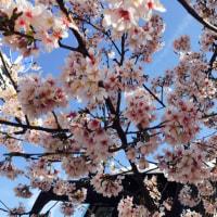 桜と抹茶ティラミス