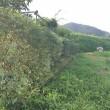 生垣の刈りこみ