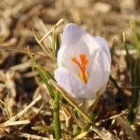 芝生の中にひっそりと・・・咲く