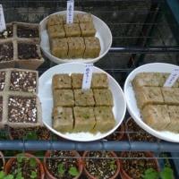 スミレの育て方4月 スミレの管理  種蒔きのスミレの種子発芽せず
