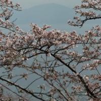 桜めぐり 琵琶湖バレイの桜