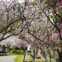 須磨離宮公園の梅