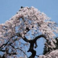 今年見ることが出来なかった甲州の桃の花と梅岩寺の枝垂れ桜