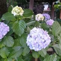 梅雨」時期でも楽しめる事はあります。それは・・・「アジサイ(紫陽花)」観賞。