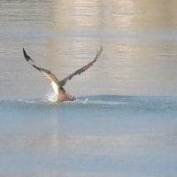 ミサゴの狩りですよ、三筋川河口