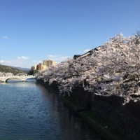 Mamieのフランス留学日記 金沢の桜