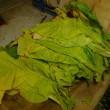 葉タバコの収穫(17-725)