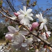 季節の花「十月桜」