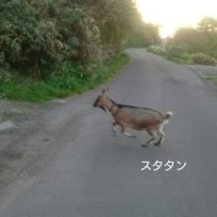 小走り開始(山羊のメーサンと再開?)