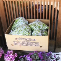 メイ太んちへ山椒の実を摘みに行ったら小梅20㎏が届いたって知らせが来て、夜は盛多で楽しく夕食会