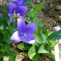 初夏の花 タイサンボク、キキョウ