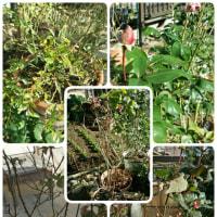 剪定&オリーブの苗木。