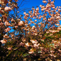 『大磯の桜』 蓮花院