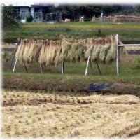 収穫の秋(^^♪刈り入れの終わった田圃 ご飯の美味しい天高く…肥ゆる季節が…