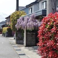 藤の花、豪華に垂れ下がる季節・・・富山市水橋・岩瀬