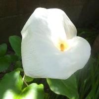 長持ちがするカラーの花