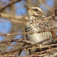 ポツポツと冬小鳥が増えてきた