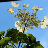 黄色花をつけるタマガワホトトギス・調布市野草園