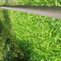 ニリンソウ って,恋っぽい野草ですね。通勤路の旬