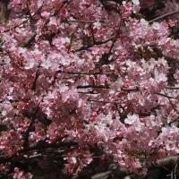 河津桜  続き