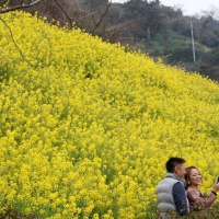 双海 菜の花