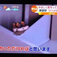 6/22 鎌倉駅のツバメが