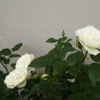 薔薇「アンナプルナ」