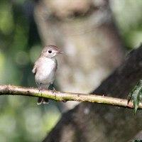 9/01探鳥記録写真(コサメビタキ)